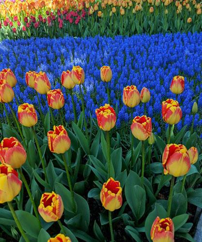 Spring is in bloom in Washington's Skagit Valley; photo © Merna Hellevang.