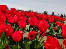 Tulips in bloom in Washington's Skagit Valley; photo © Merna Hellevang.